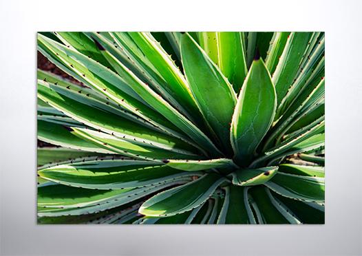 plakat botaniczny kaktus